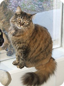 Domestic Longhair Cat for adoption in Colorado Springs, Colorado - Chloe