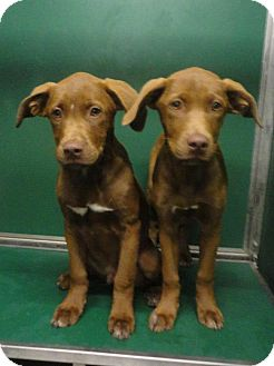 Labrador Retriever/Hound (Unknown Type) Mix Puppy for adoption in Huntsville, Alabama - Sassy