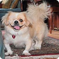 Adopt A Pet :: Patrick - Chantilly, VA