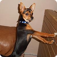 Adopt A Pet :: Ringo - Meridian, ID