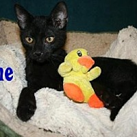 Domestic Shorthair Kitten for adoption in East Stroudsburg, Pennsylvania - Zane