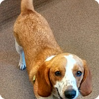 Adopt A Pet :: Chester - richmond, VA