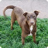 Labrador Retriever/German Shorthaired Pointer Mix Dog for adoption in Pikeville, Tennessee - Thor
