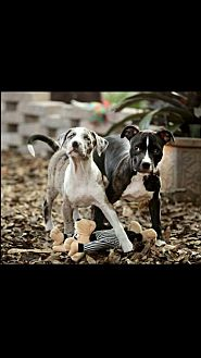 Boxer/Pit Bull Terrier Mix Dog for adoption in Tampa, Florida - Wally & Rain (Bonded Pair)