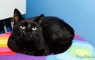 Domestic Shorthair Cat for adoption in Marlboro, New Jersey - Nora