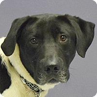 Adopt A Pet :: Chief - Huntley, IL