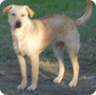 Rhodesian Ridgeback Mix Dog for adoption in Dallas, Texas - Aubrey