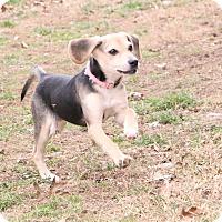 Adopt A Pet :: Starlynn - Buffalo, NY