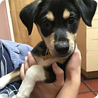 Adopt A Pet :: Zorro - Los Angeles, CA