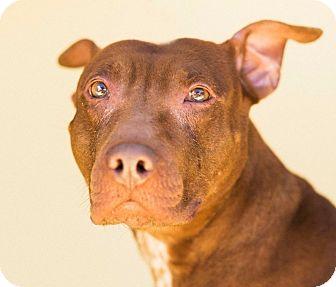 Bull Terrier/Pit Bull Terrier Mix Dog for adoption in Cincinnati, Ohio - Pallie