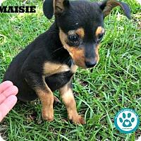 Adopt A Pet :: Maisie - Kimberton, PA