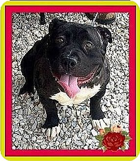 American Pit Bull Terrier Dog for adoption in West Los Angeles, California - Petunia