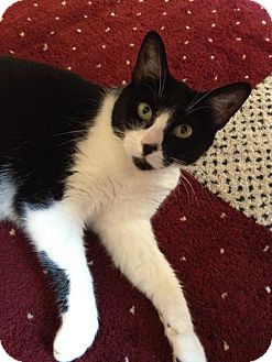 Domestic Shorthair Cat for adoption in Sacramento, California - Maya