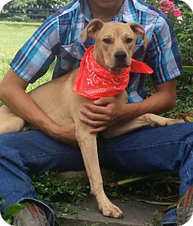 Labrador Retriever Mix Puppy for adoption in Freehold, New Jersey - Mr. Wiggles