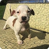 Adopt A Pet :: Tyrion - Hatfield, PA
