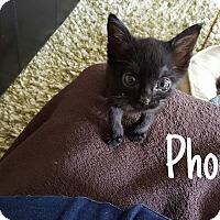 Adopt A Pet :: Phoenix - Tega Cay, SC