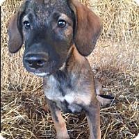 Labrador Retriever Mix Puppy for adoption in Hamburg, Pennsylvania - Bolden