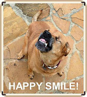 Labrador Retriever/Rhodesian Ridgeback Mix Dog for adoption in Denver, Colorado - Yuma