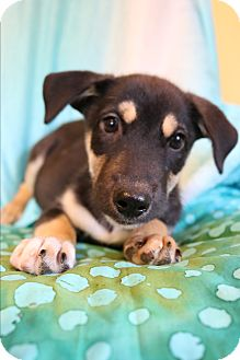 Husky/Labrador Retriever Mix Puppy for adoption in Allentown, Virginia - Mercy