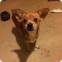 Chihuahua Mix Dog for adoption in Nesquehoning, Pennsylvania - Chi Chi