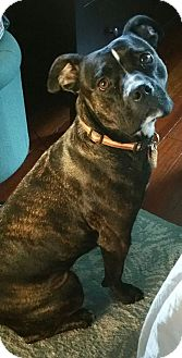 Pit Bull Terrier Mix Dog for adoption in Milton, New York - Minette
