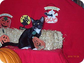 Domestic Shorthair Kitten for adoption in Lancaster, California - Apollo