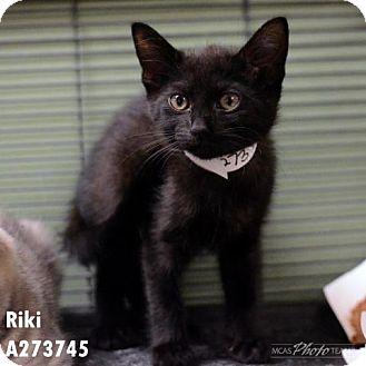 Domestic Mediumhair Cat for adoption in Conroe, Texas - RIKI