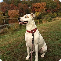 Adopt A Pet :: Maverick - Peace Dale, RI