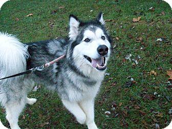 Alaskan Malamute Mix Dog for adoption in Augusta County, Virginia - Zelda
