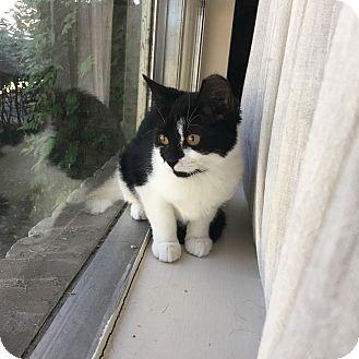 Domestic Shorthair Cat for adoption in Houston, Texas - Peach