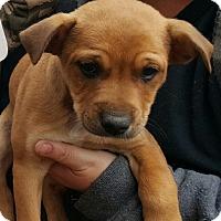 Adopt A Pet :: Buck - Allen town, PA