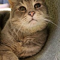 Adopt A Pet :: Ringo - Portland, OR