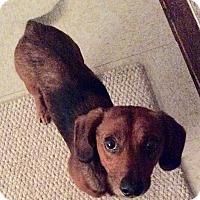 Adopt A Pet :: Red - Grand Rapids, MI