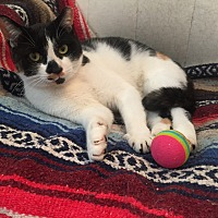 Adopt A Pet :: Reese Cup/affectionate lap cat - Bryn Mawr, PA