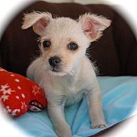 Adopt A Pet :: Lil Bro - La Habra Heights, CA