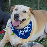 Labrador Retriever/Australian Cattle Dog Mix Dog for adoption in Cross Roads, Texas - Henley