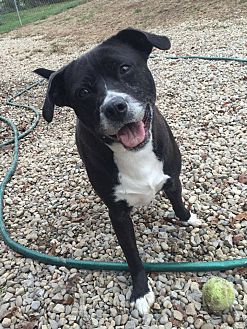 Border Collie/Labrador Retriever Mix Dog for adoption in Shelbyville, Kentucky - Hope