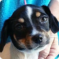 Adopt A Pet :: Ying - Allentown, PA