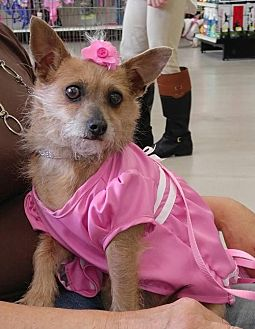 Yorkie, Yorkshire Terrier Mix Dog for adoption in Ponca City, Oklahoma - Daphne