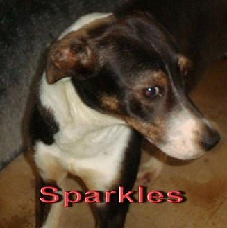 Australian Shepherd Mix Dog for adoption in Coleman, Texas - Sparkles