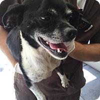 Adopt A Pet :: Howdy - Westminster, CA