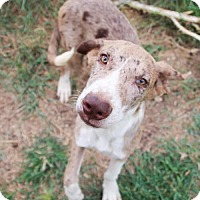 Adopt A Pet :: Moe - Helotes, TX
