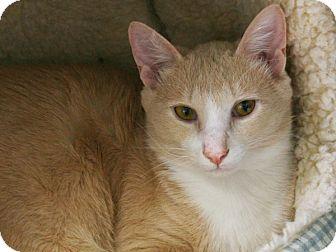 Domestic Shorthair Cat for adoption in Republic, Washington - Benton VALENTINE'S SPECIAL! 50