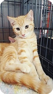 Egyptian Mau Kitten for adoption in Cerritos, California - cashew