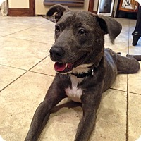 Shepherd (Unknown Type)/American Pit Bull Terrier Mix Dog for adoption in oklahoma city, Oklahoma - Skye