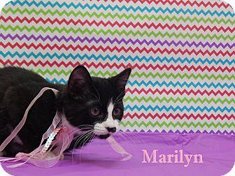 Domestic Shorthair Kitten for adoption in Bucyrus, Ohio - Marilyn Monstache