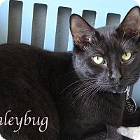 Adopt A Pet :: Haleybug - Bradenton, FL