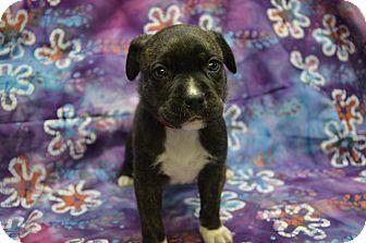 Labrador Retriever Mix Puppy for adoption in Alexandria, Virginia - Nestle (Chocolate Crew)