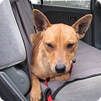 Adopt A Pet :: Radar - Springfield, VA