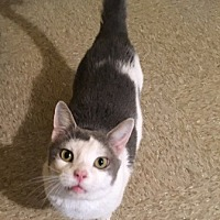 Domestic Mediumhair Cat for adoption in Sistersville, West Virginia - Jace